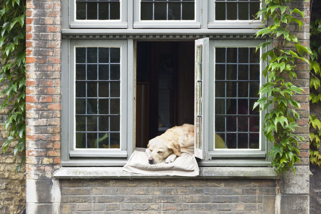 dog lay half out of open window on an old house - keeping your home secure = locking windows