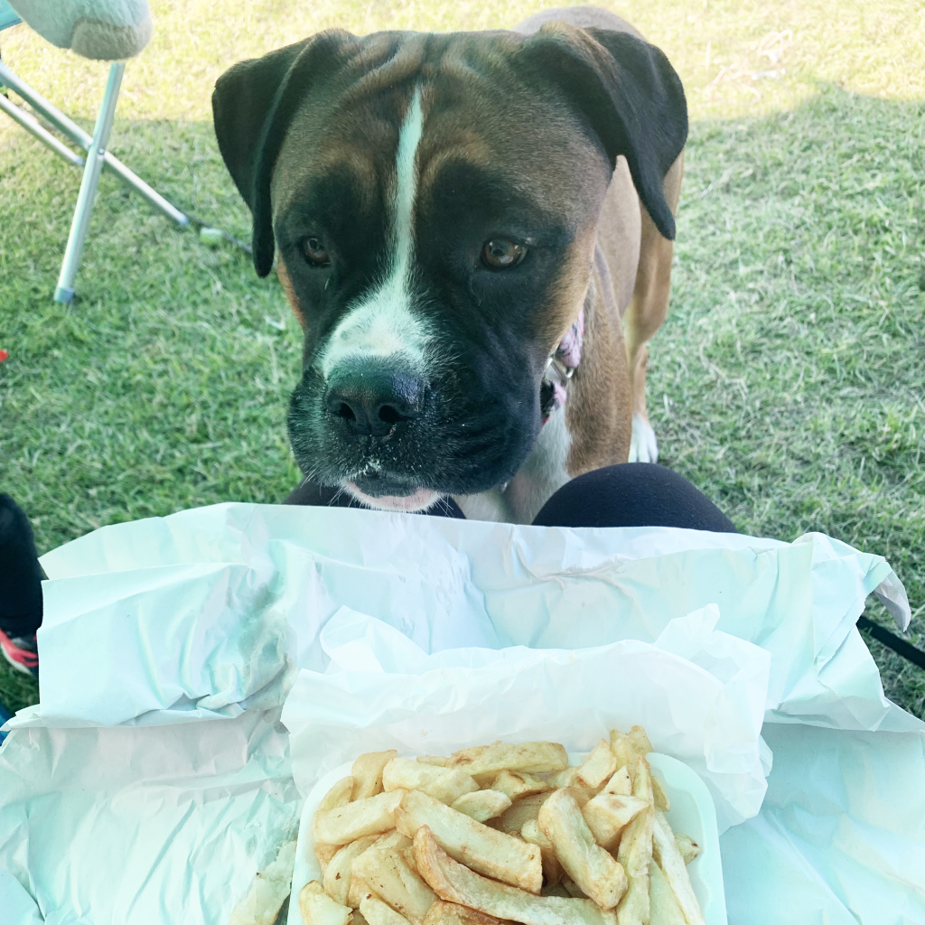 Boxer dog Minnie looking at chips from chip shop on our solo parent camping trip
