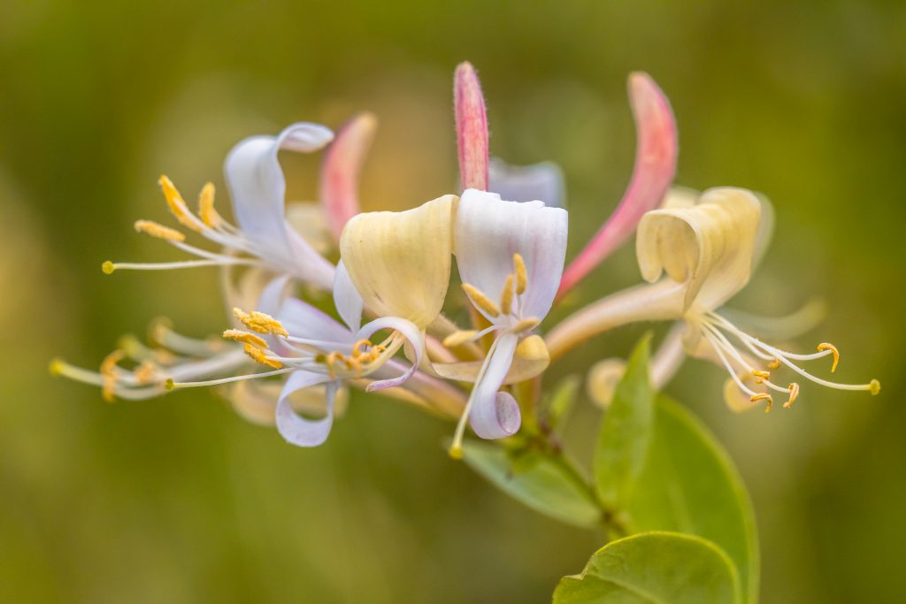 Honeysuckle plant, close up