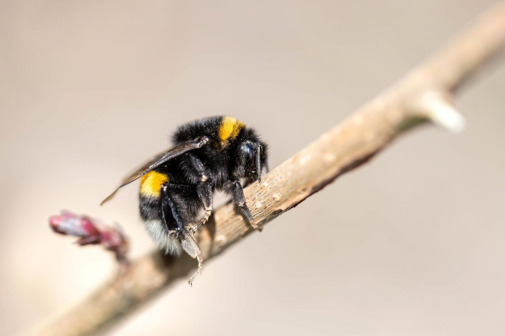 Closeup of a beautiful bumblebee (Bombus) on the twig