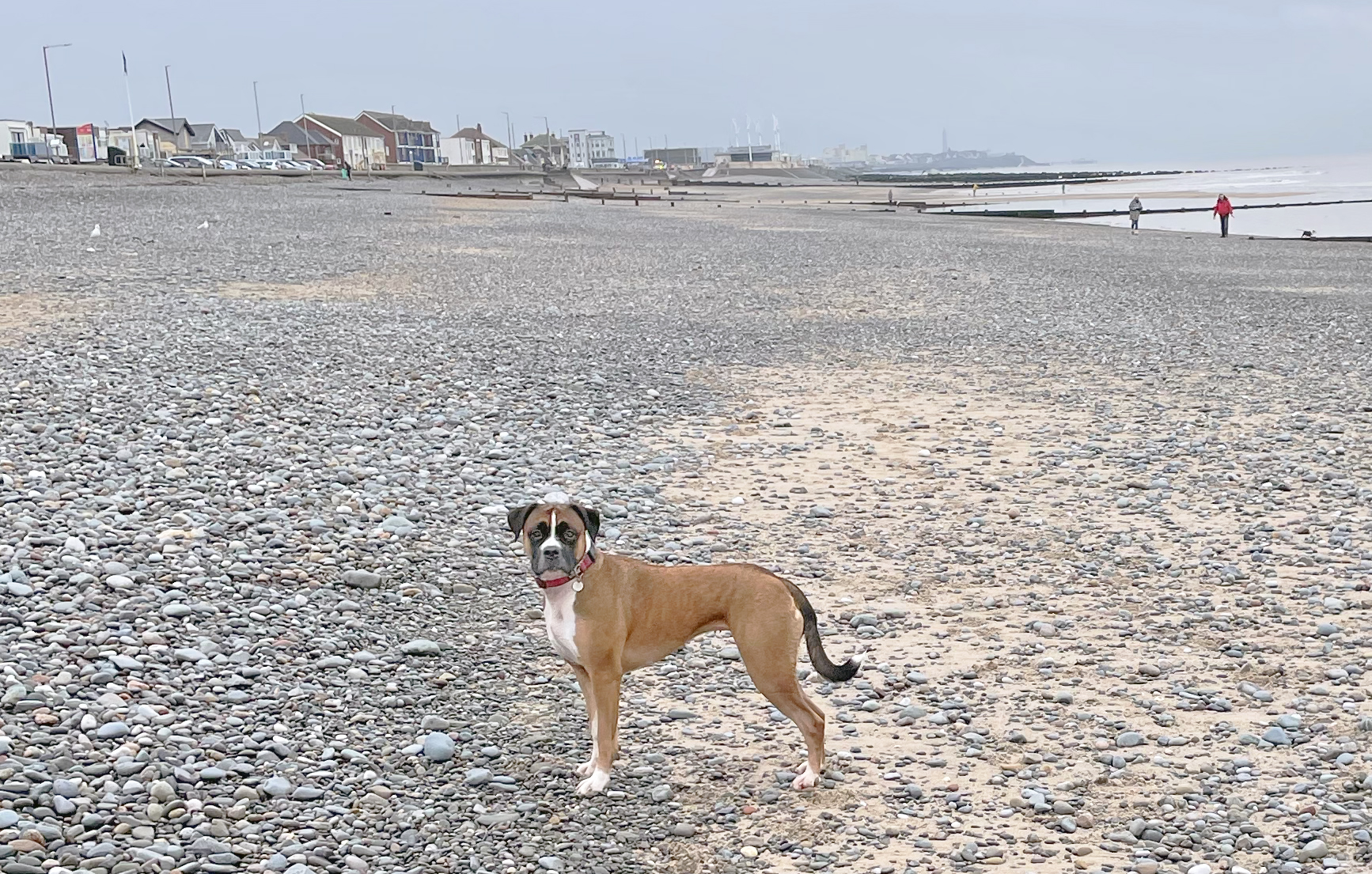 brown dog on the beach, looking a little underweight. How to safely help your dog gain weight